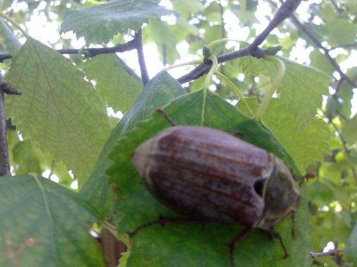 Beetle in Ireland
